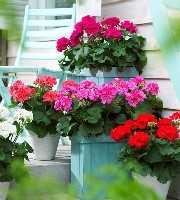 天竺葵花语 天竺葵的花语是什么呢