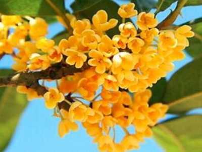 桂花是哪个季节的花 桂花什么季节开花