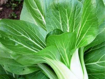 根很粗的青菜是什么菜 青菜有哪些、青菜的种类图片名称详解